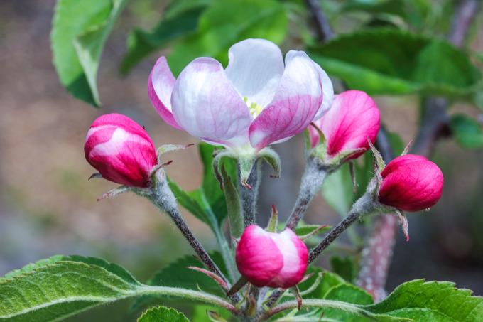 リンゴの花ほころびて