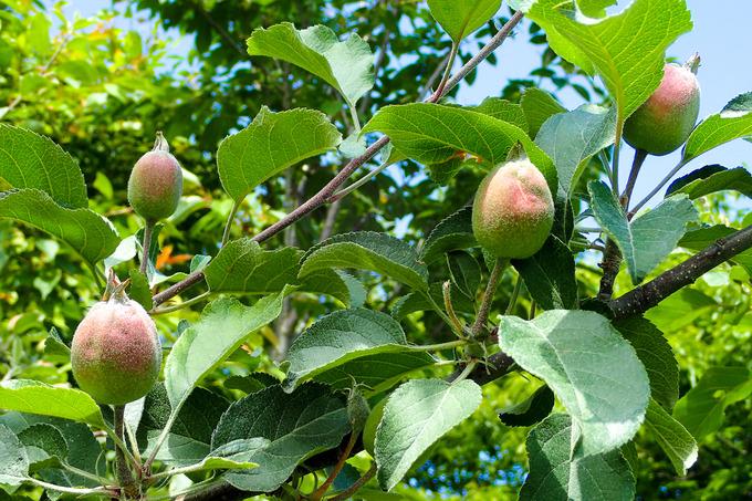 すくすく育つリンゴ