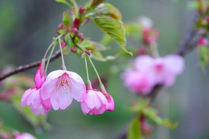 高岡さんの思いのこもった陽光桜