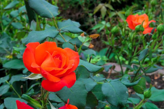 暑さにめげず元気なバラたち