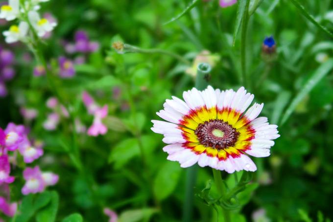 夏花壇点描 ⑥花輪菊