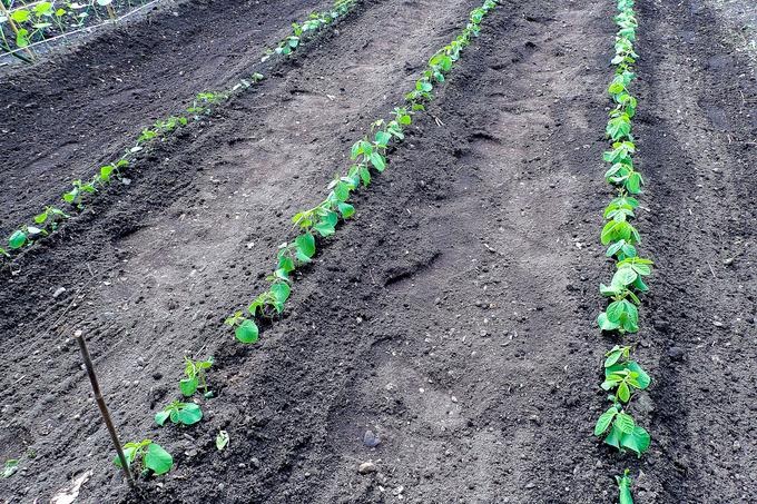 猫額菜園の植え付け完了