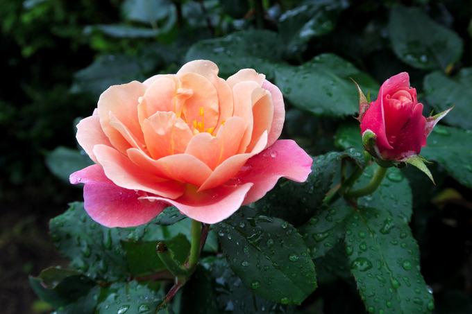 雨に咲く薔薇