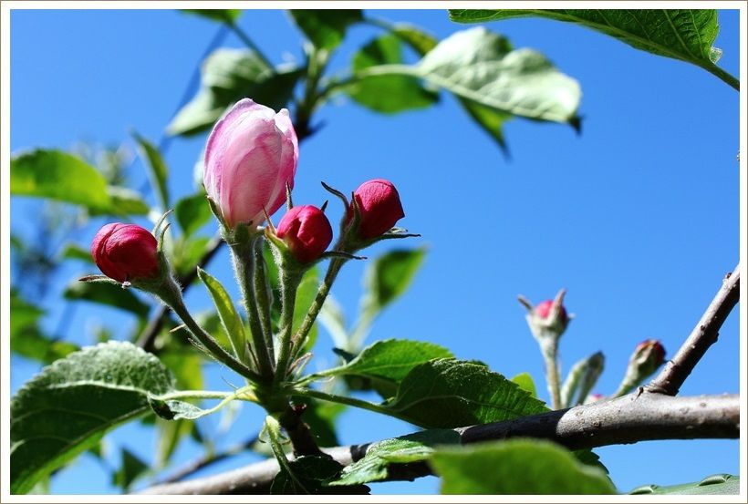 リンゴの花がほころんで