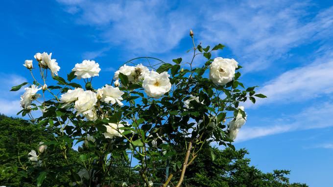 紅白の蔓バラ