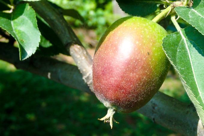 リンゴがこんなに大きく