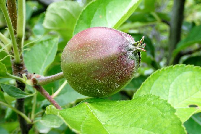 こんなに大きくなったリンゴ