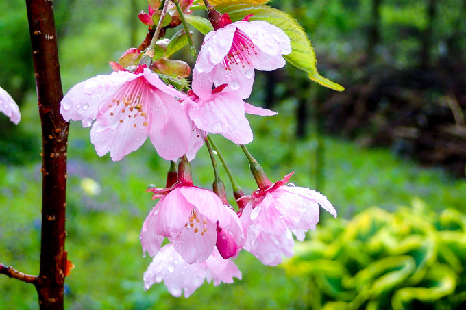 macotoガーデンの桜 ②