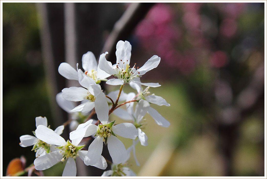 白い花が綺麗なジューンベリー