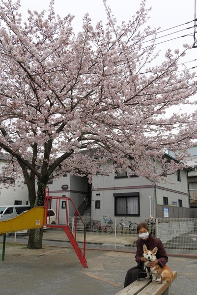 桜を見ながら河川敷までお散歩♪