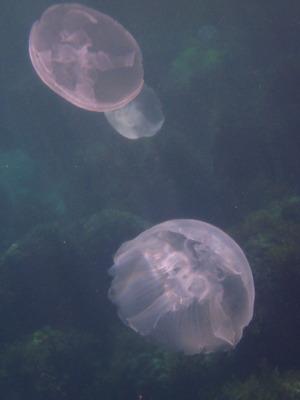 佐渡 クラゲ水族館