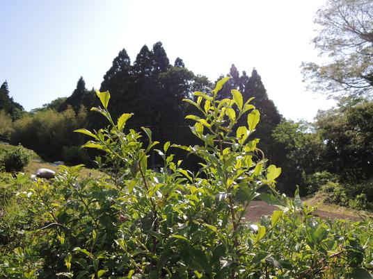 茶摘み (2)