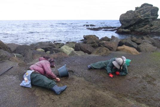海苔摘み④