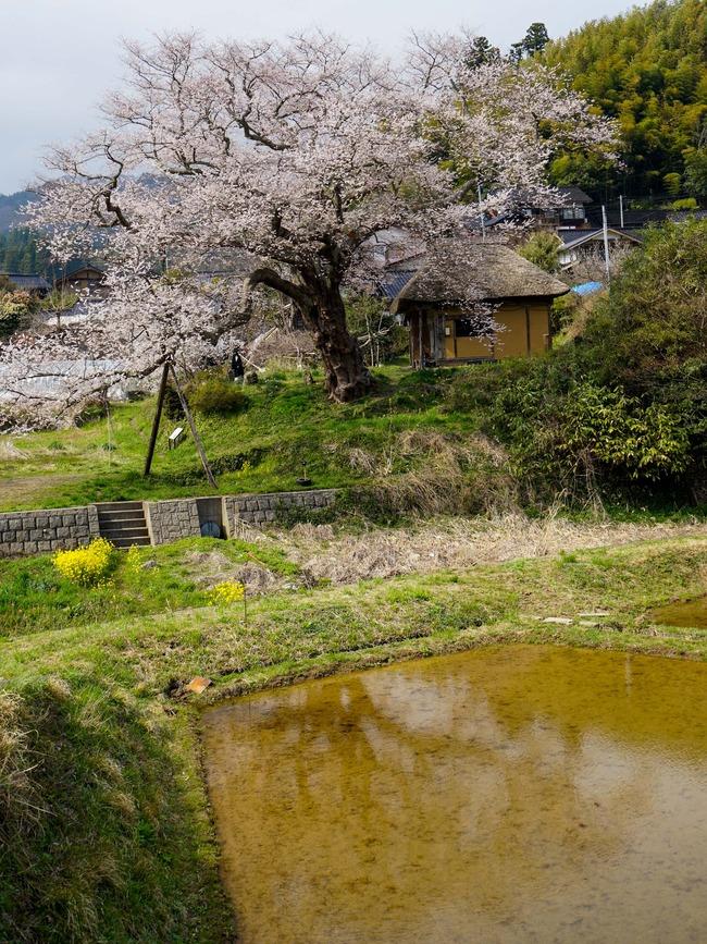 法乗坊の種まき桜1