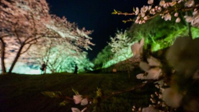 佐渡金山桜ライトアップ