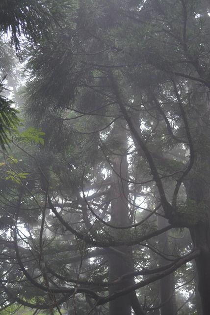 佐渡石名天然杉遊歩道以外の天然杉3