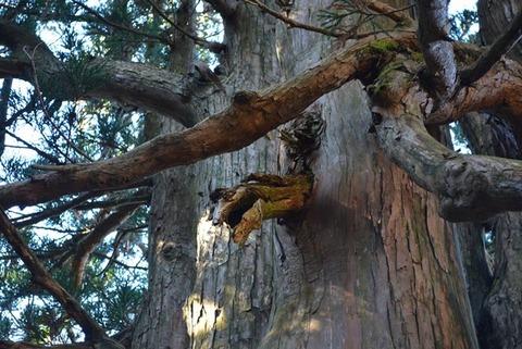 佐渡天然杉木