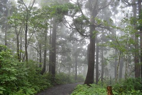 佐渡石名天然杉遊歩道以外の天然杉1