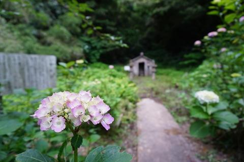 蓮華峰寺紫陽花2