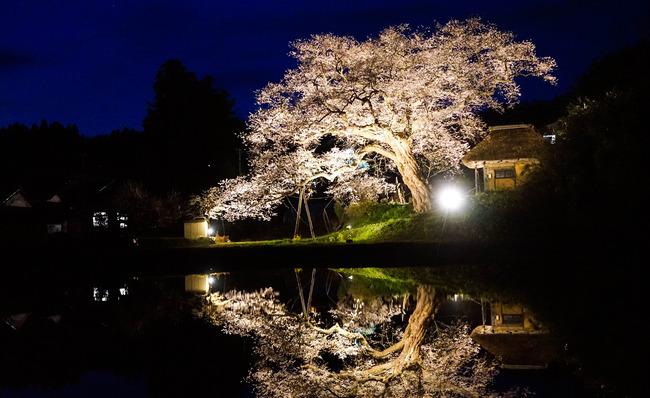 種まき桜2-2