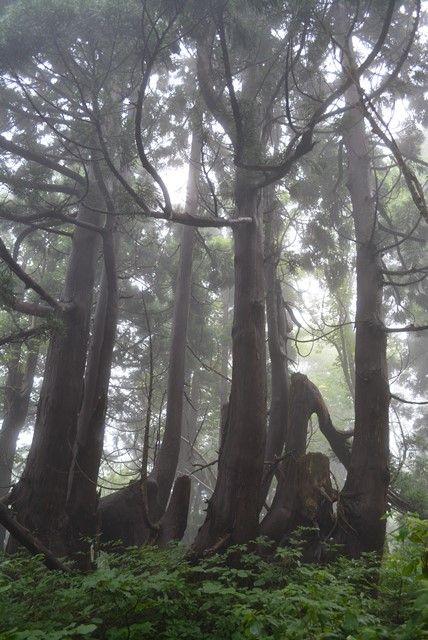 佐渡石名天然杉遊歩道以外の天然杉4