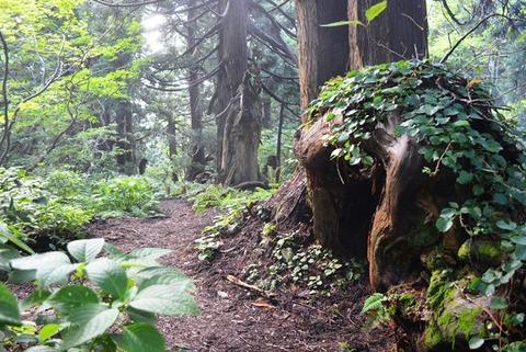 佐渡石名天然杉木のトンネル