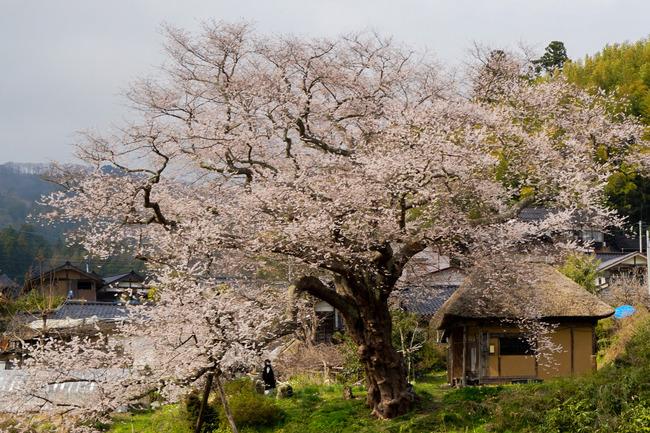 法乗坊の種まき桜0