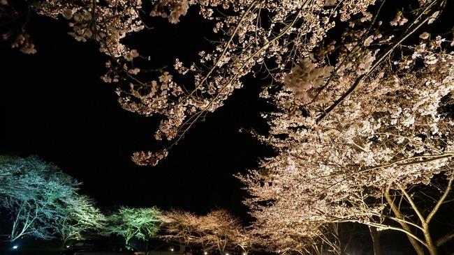 佐渡金山桜ライトアップ8