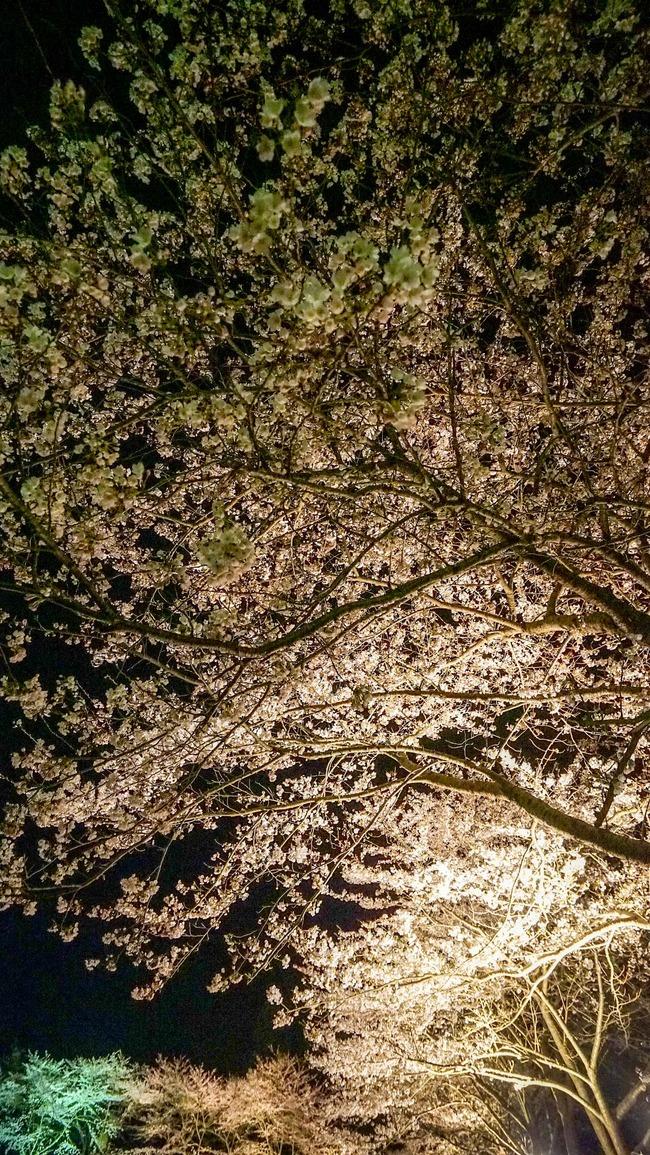 佐渡金山桜ライトアップ7