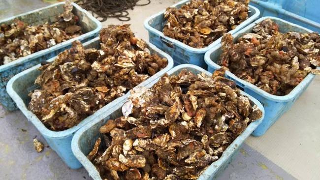 佐渡加茂湖の牡蠣3