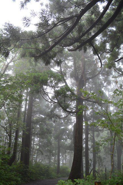 佐渡石名天然杉遊歩道以外の天然杉2
