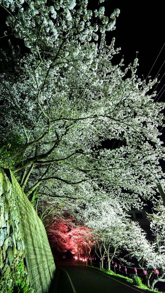 佐渡金山桜ライトアップ6