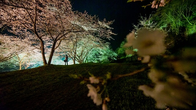 佐渡金山桜ライトアップ1
