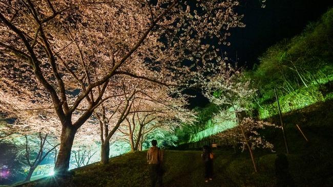 佐渡金山桜ライトアップ5