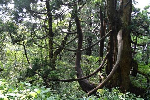 佐渡石名天然杉象牙杉1