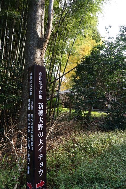清水寺大銀杏9