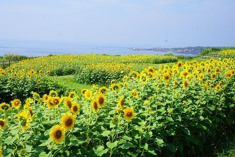 佐渡達者ひまわり畑と海2
