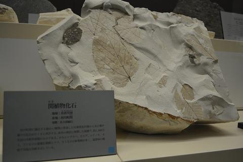 佐渡博物館化石