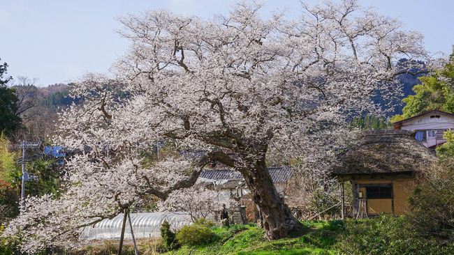 法乗坊の種まき桜-2