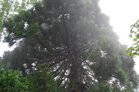 佐渡石名天然杉遊歩道以外の天然杉