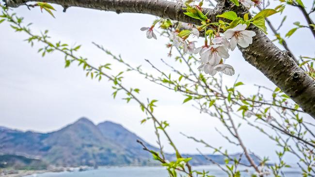 跳坂の桜-2