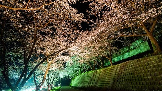 佐渡金山桜ライトアップ4