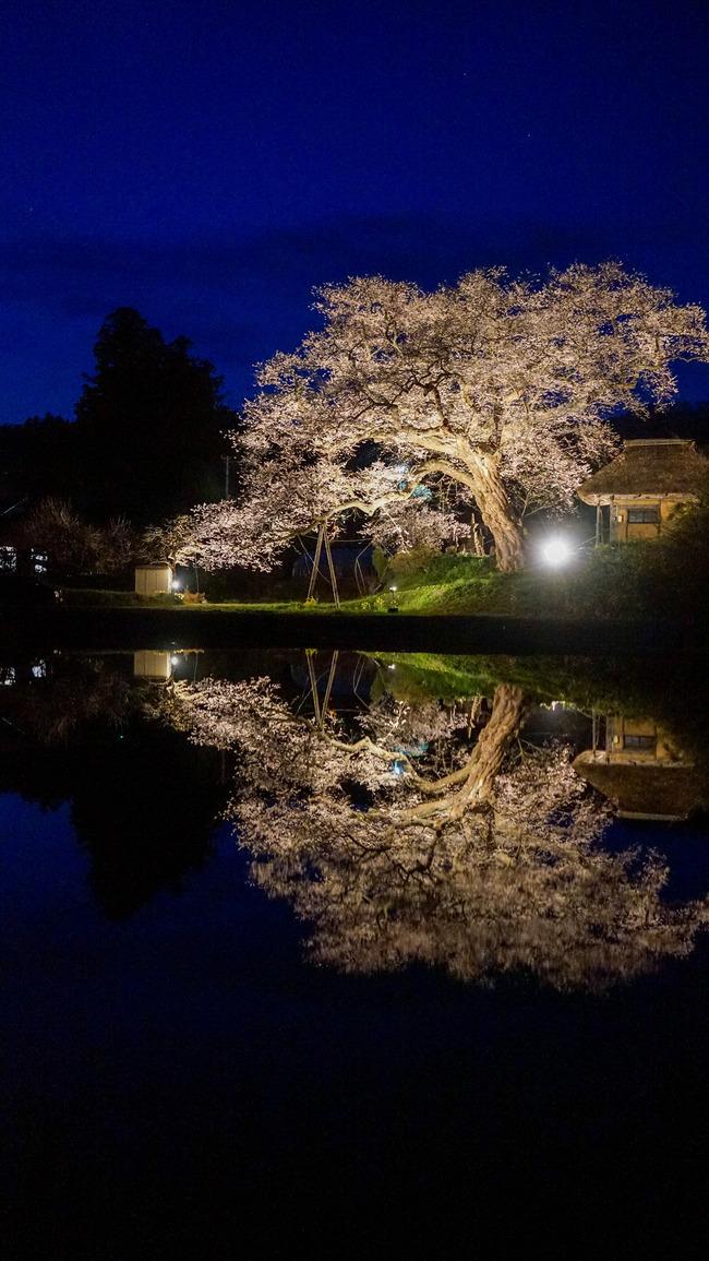 種まき桜-2