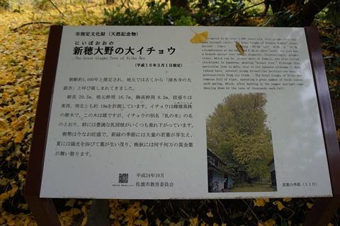 清水寺大銀杏4