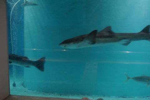 雨の尖閣湾サメ