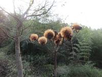 種ーハンカイソウ