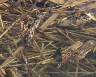 ヒキガエルのオタマジャクシ