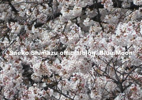 満開の桜20190405