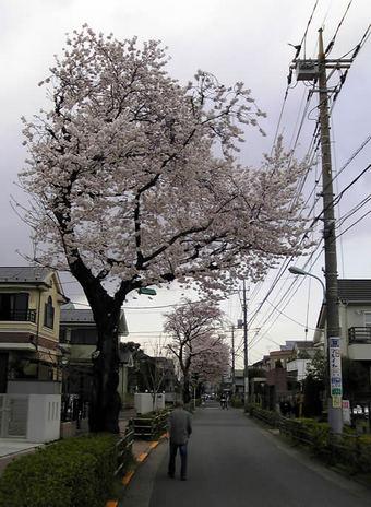 20100403 桜 上鷺宮 さくら通り 上鷺宮3丁目 鷺宮地域情報ネット