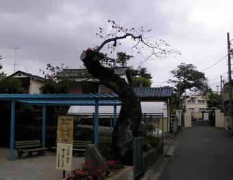 20100613mitake_sakura